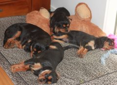 """My Black & Tan Youngsters"""