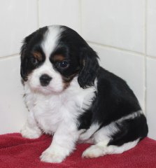 Smarty - Riley puppies 4.5.2015 - 7 weeks 031.JPG